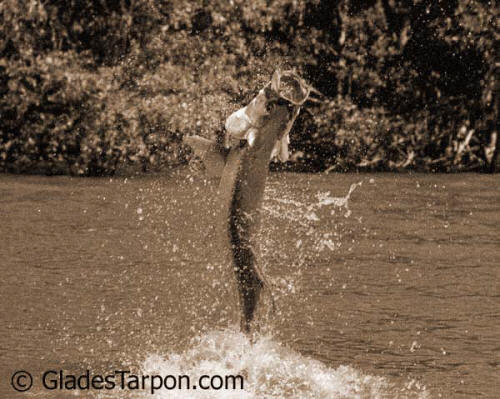 Tarpon fishing in the Everglades